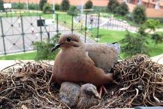 Gołębia mama Obrazy Stock