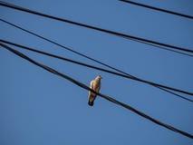Gołębia odpoczywać Fotografia Royalty Free