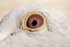 Gołębia oko zdjęcie stock