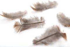Gołębia piórko na białym tle Zdjęcie Royalty Free