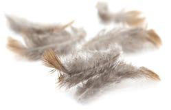 Gołębia piórko na białym tle Fotografia Stock