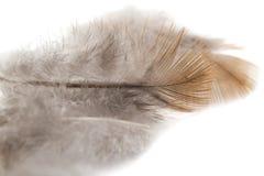 Gołębia piórko na białym tle Obraz Stock