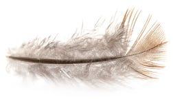 Gołębia piórko na białym tle Obrazy Stock