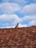 Gołębia pozycja na dachu obraz stock