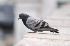 Gołębia pozycja na kamiennej powierzchni Fotografia Royalty Free