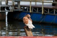 Gołębia pozycja na molu Zdjęcia Royalty Free