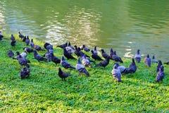 Gołębia pozycja na trawie Fotografia Stock
