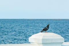 Gołębia pozycja przy morzem Zdjęcia Stock