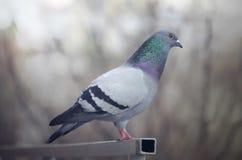 Gołębia pozycja przy wierzchołkiem Fotografia Stock