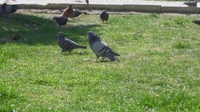 Gołębia spacer na zielonym gazonie zbiory wideo