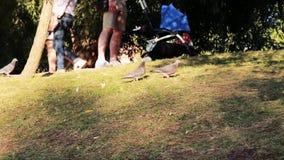 Gołębia spacer przez trawę zsynchronizowane Dwa ptaków spacer na zielonej trawie zbiory wideo