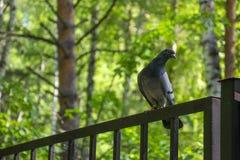 Gołębia stojak na ogrodzeniu w lesie Obrazy Stock