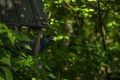 Gołębia stojak w ptasim dozowniku w lesie Obrazy Stock