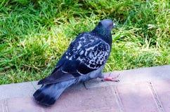 Gołębia szarzy stojaki na gazonu miasta parku zdjęcia stock