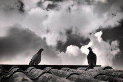 Gołębie Zdjęcie Royalty Free