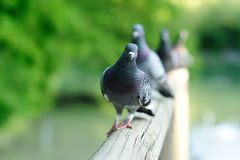 gołębie Obraz Royalty Free