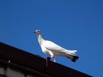 gołębie Zdjęcie Stock