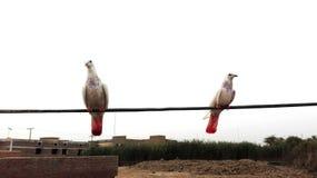 gołębie Fotografia Stock