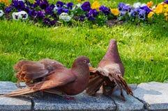 gołębie Obrazy Royalty Free