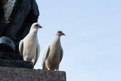 gołębie biały obraz stock