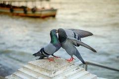 Gołębie blisko nawadniają, ptaki, błękitni ptaki w sposobie Obrazy Royalty Free