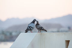 Gołębie całuje na dachu Zdjęcia Royalty Free