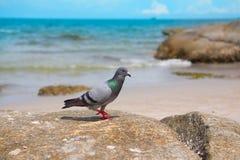 Gołębie chodzi na skale Fotografia Royalty Free