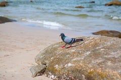 Gołębie chodzi na skale Obrazy Royalty Free
