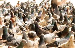 Gołębie czeka karmę od ludzi Zdjęcie Royalty Free