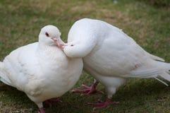 gołębie dwa Zdjęcie Stock