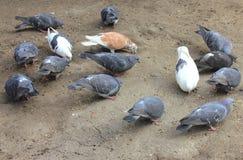 Gołębie dzióbać adrę Obrazy Royalty Free