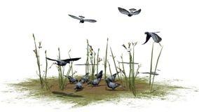 Gołębie grupują - odizolowywają na białym tle Zdjęcia Royalty Free