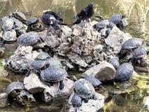 Gołębie i żółwie Zdjęcia Stock
