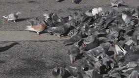 Gołębie i gołąbki zbiory wideo