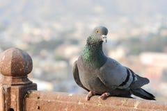 Gołębie i gołąbki ustanawiają ptasiej rodziny Columbidae Fotografia Stock