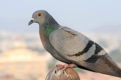 Gołębie i gołąbki ustanawiają ptasiej rodziny Columbidae Obrazy Royalty Free