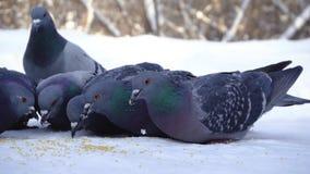 Gołębie je adrę w śniegu środki W górę gołębi przychodzić jeść rozrzuconej jagły groszkuje w śniegu w parku fotografia stock