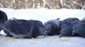 Gołębie je adrę w śniegu środki W górę gołębi przychodzić jeść rozrzuconej jagły groszkuje w śniegu w parku zdjęcie royalty free
