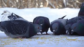 Gołębie je adrę w śniegu środki W górę gołębi przychodzić jeść rozrzuconej jagły groszkuje w śniegu w parku zdjęcia royalty free