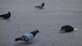 Gołębie Je chleb zdjęcie wideo