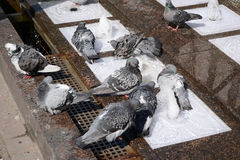 Gołębie kąpać w fontannie Obrazy Royalty Free