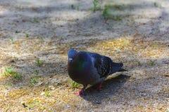 Gołębie karmią wewnątrz miasto parka Obraz Stock