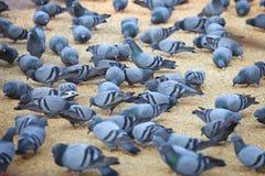 Gołębie karmi na kwadracie Obrazy Stock