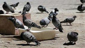 Gołębie karmili wewnątrz parka, setki gołębie w miasto parku, zbiory wideo