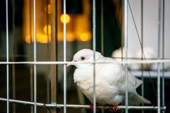 gołębie klatki ptasiej białe kobiety Obrazy Royalty Free