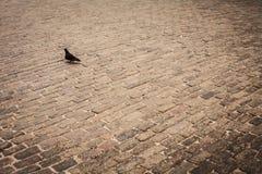 Gołębie, miastowi ptaki Obrazy Royalty Free