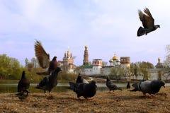 gołębie Moscow zakon novodevichiy Zdjęcia Stock