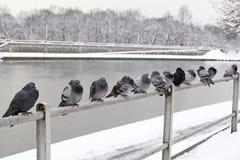 Gołębie na bridżowych poręczach Krakow, Polska Fotografia Royalty Free