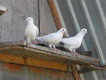 Gołębie na dovecote fotografia stock