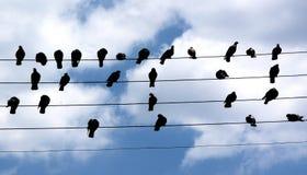 Gołębie na drucie Zdjęcie Royalty Free